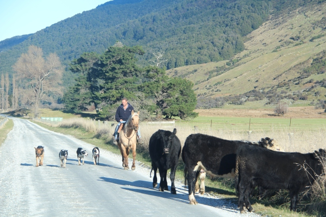 A man herding his cows