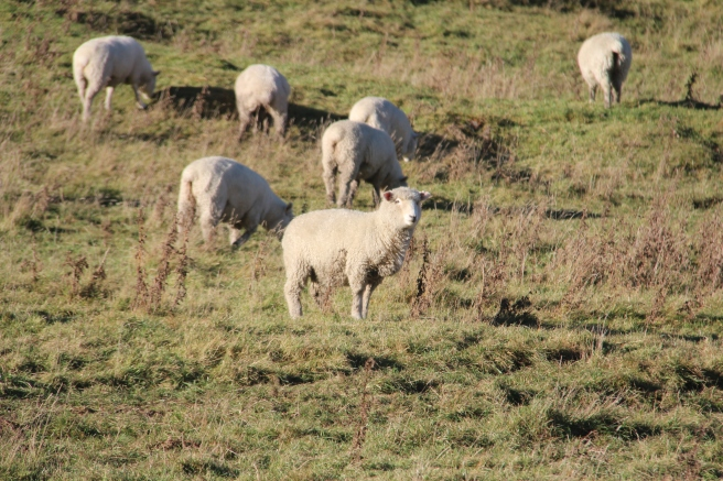 Some NZ sheep