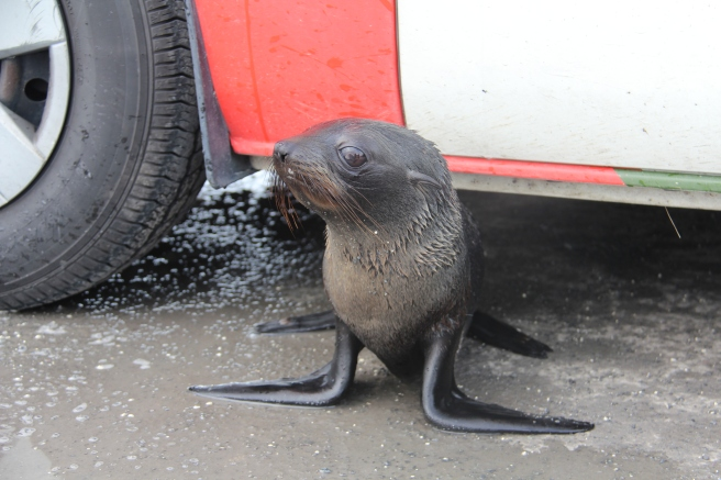 Such a sweet baby seal under our camper