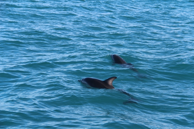 Two Dusky dolphins