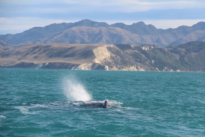 Sperm whale spraying