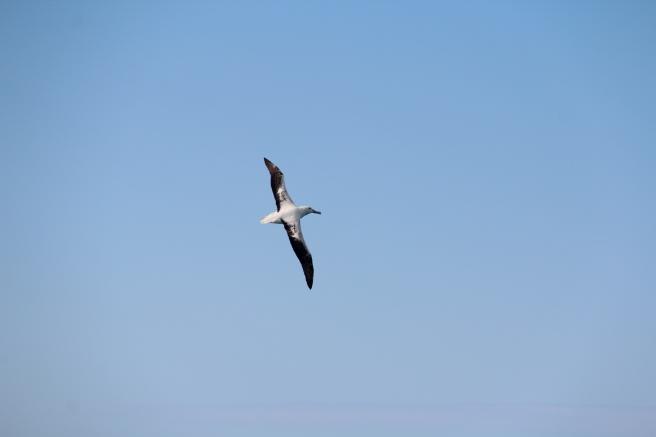 Beautiful albatross